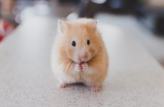 Comment prendre soin d'un hamster ?