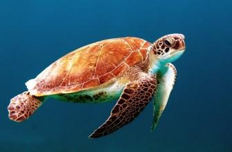 Quelle différence entre Turtle et Tortoise ?